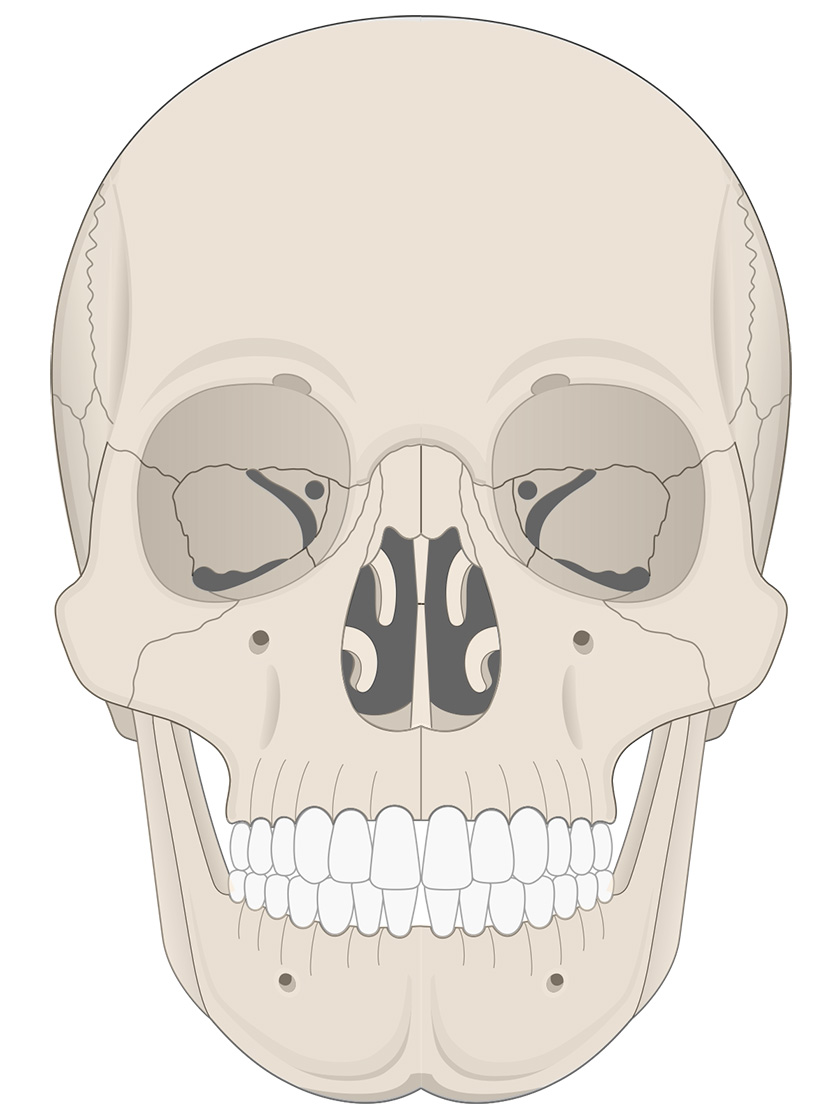 Anterior view of human skull (bone color)