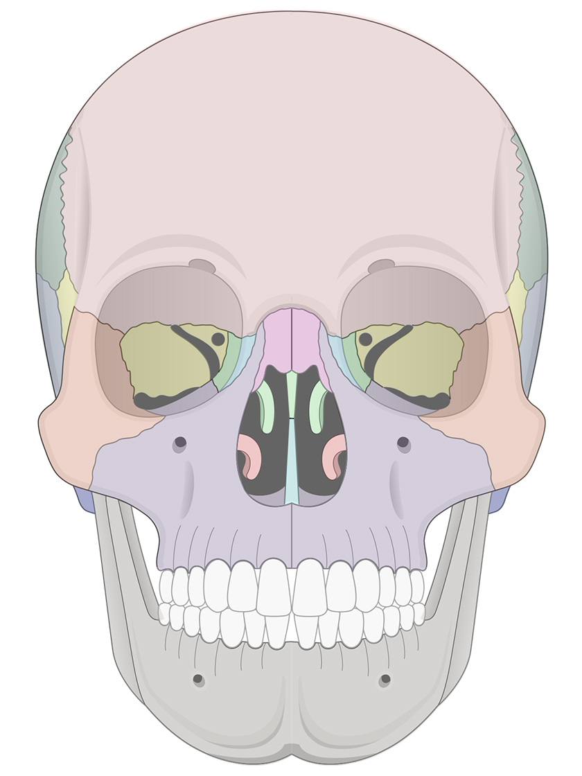Anterior view of human skull (multicolor overlay)