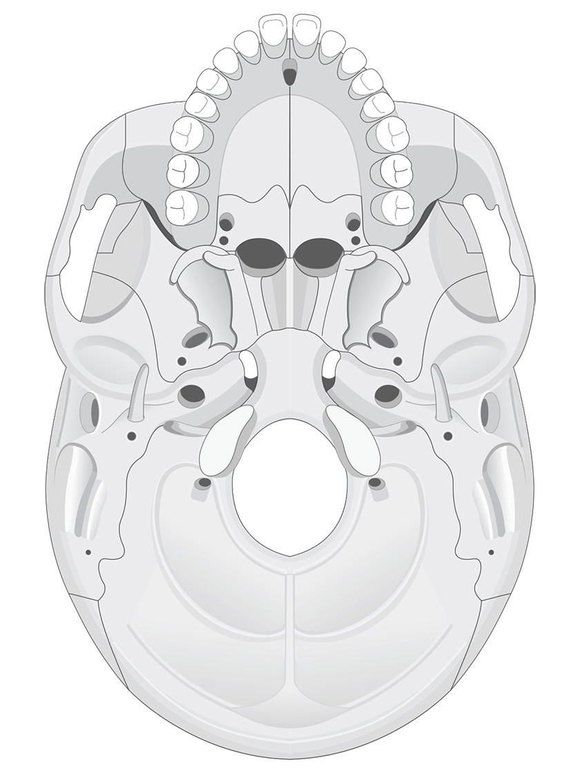 Inferior view of human skull (black and white)