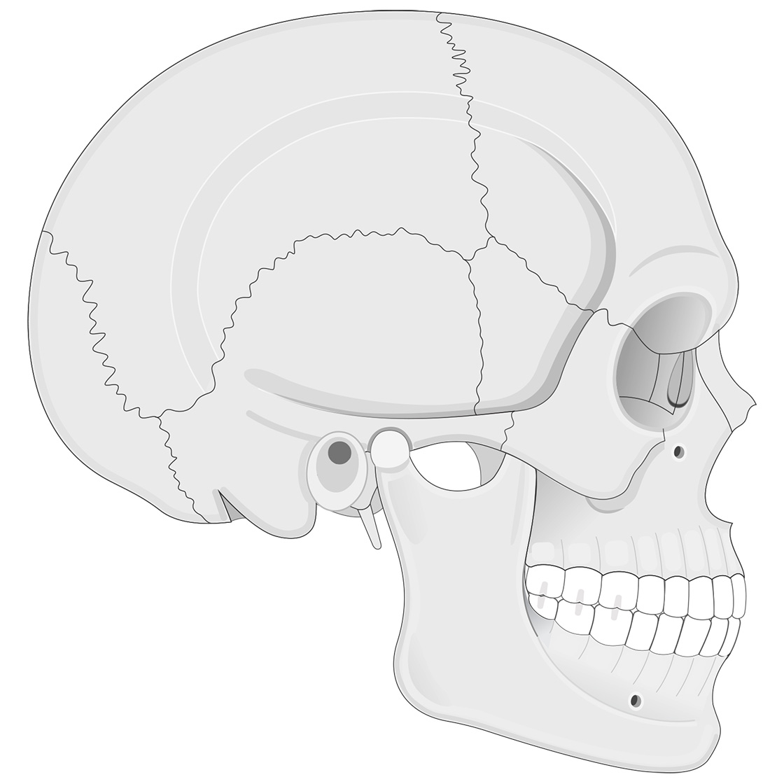 Lateral view of human skull (bone color)