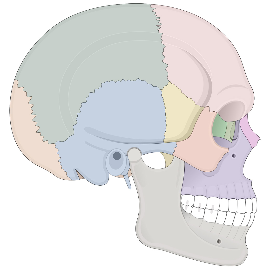 Lateral view of human skull (multicolor overlay)