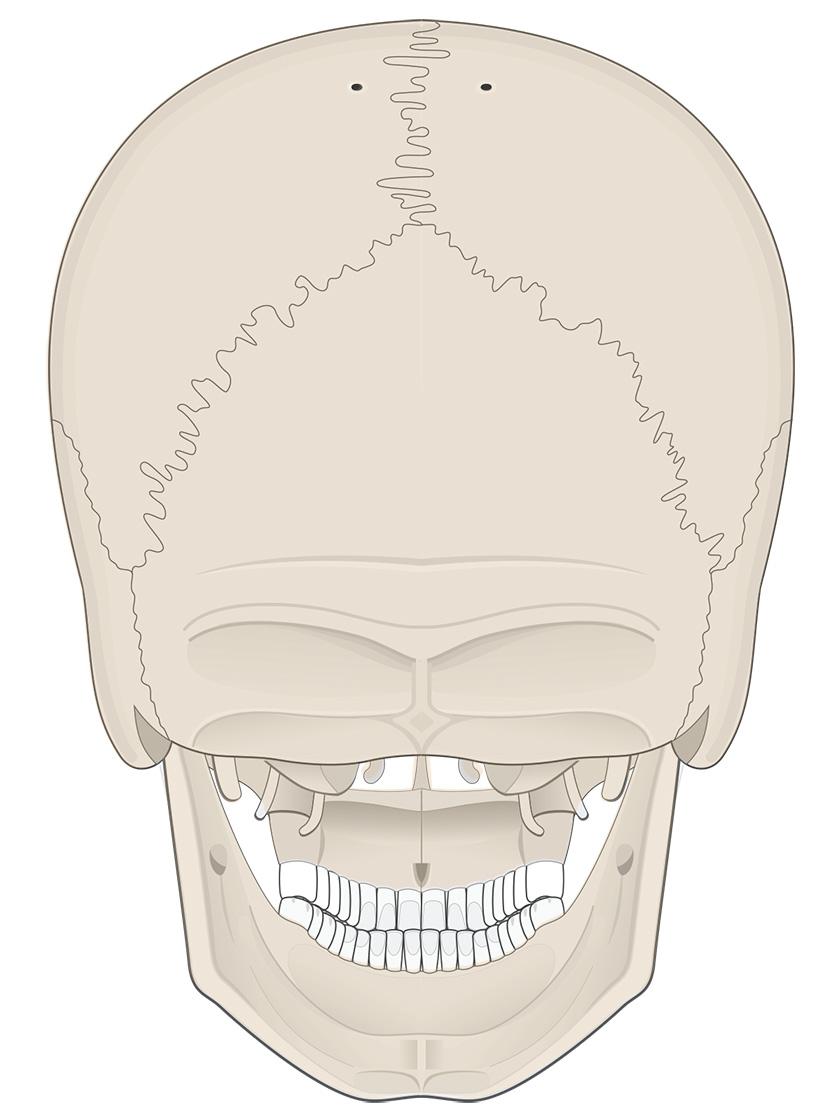 Posterior view of human skull (bone color)