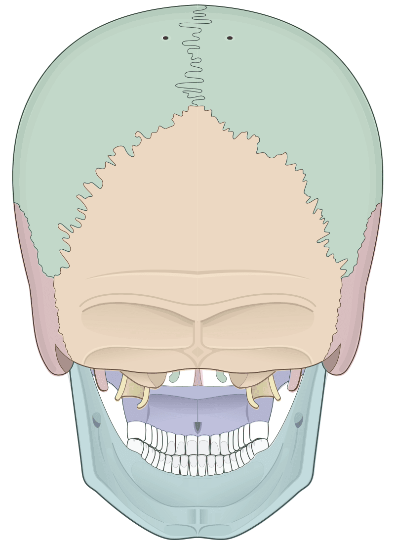 Posterior view of human skull (multicolor overlay)