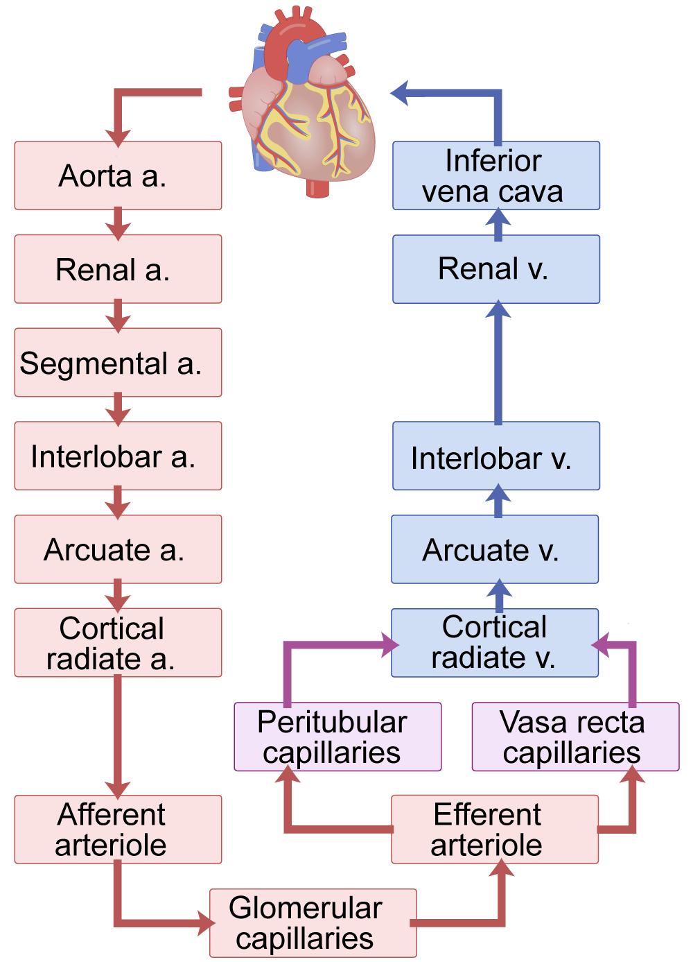 Kidney blood flow chart; renal circulation chart