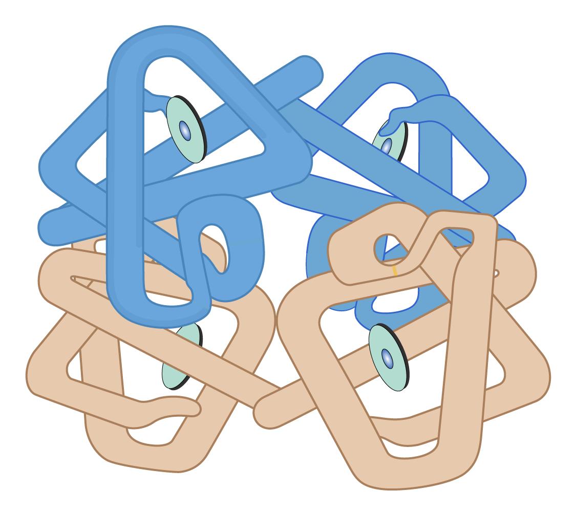 Hemoglobin form: The sequence of amino acids controls the 3-D conformation of a hemoglobin molecule.