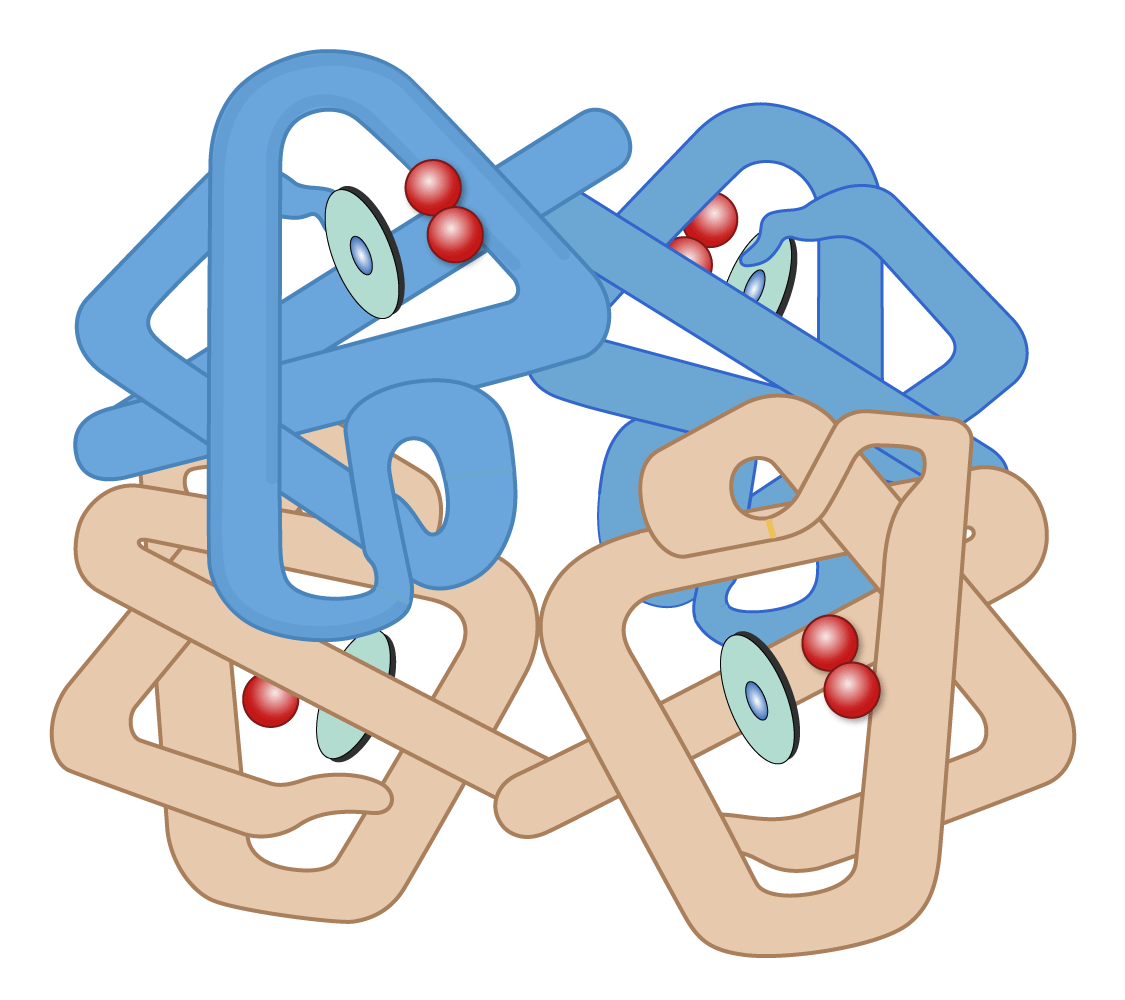 Hemoglobin function: the 3D conformation (shape) of a hemoglobin molecule determines its ability to bind with oxygen.