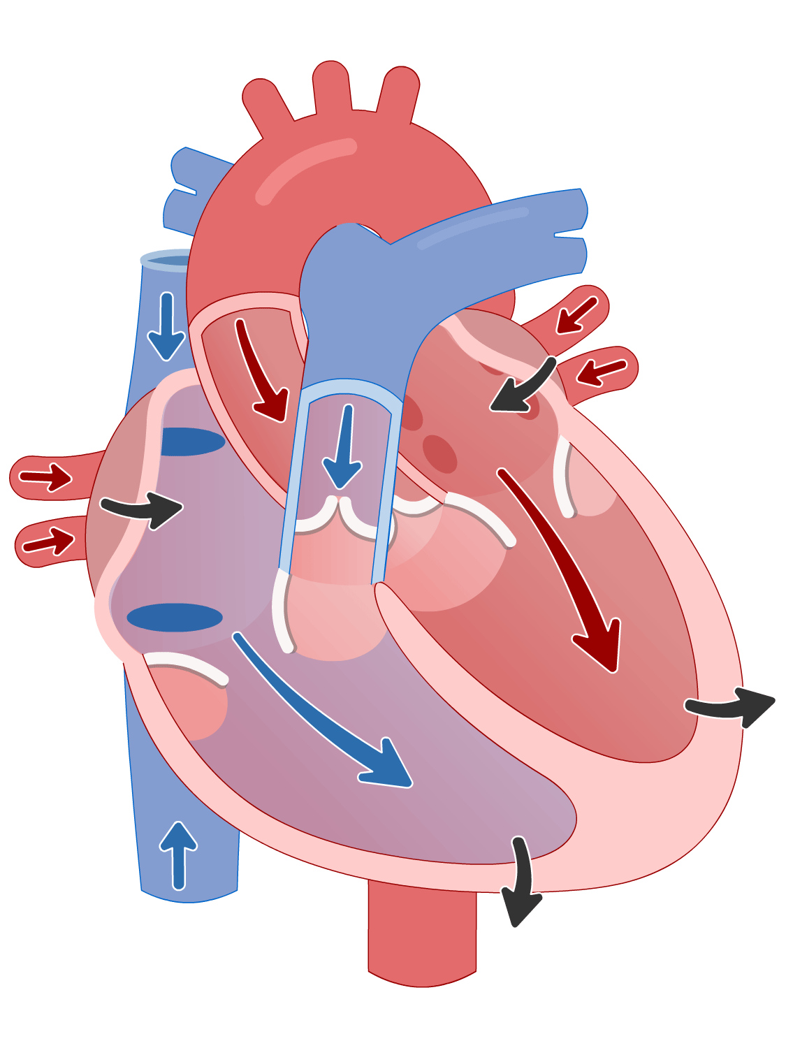 Cardiac cycle of the heart - atrial systole phase
