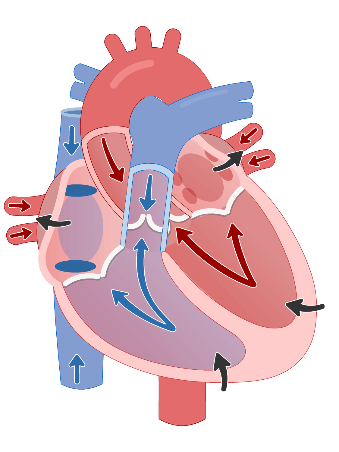 Cardiac cycle of the heart - ventricular isovolumetric (isovolumic) contractionphase