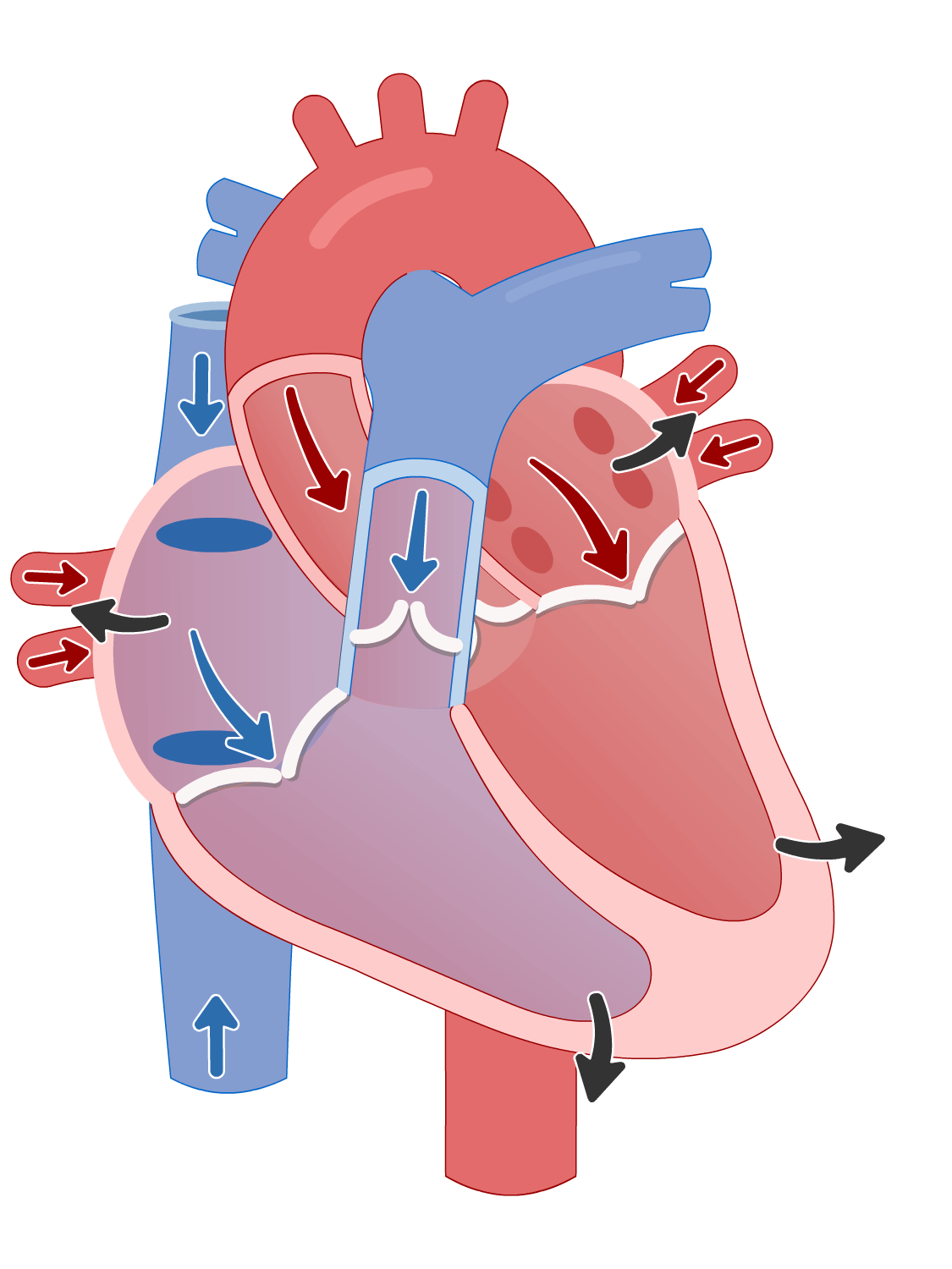 Cardiac cycle of the heart - ventricular iIsovolumetric (isovolumic) relaxation phase