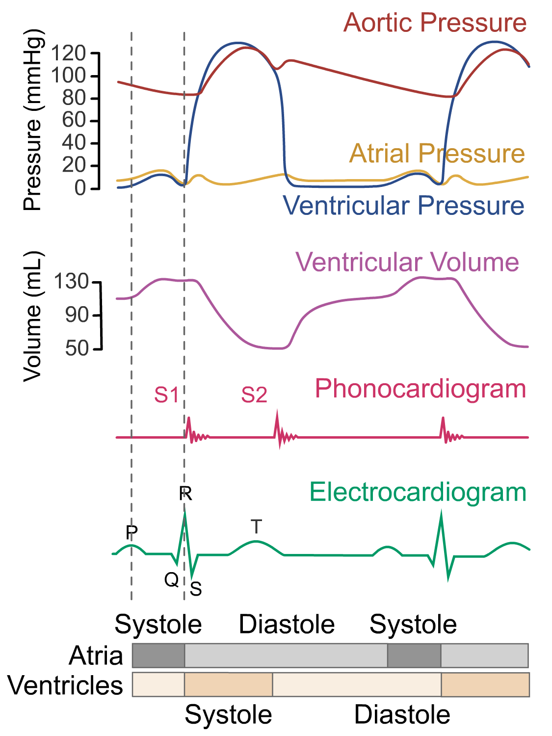 Wigger's diagram - atrial systole phase
