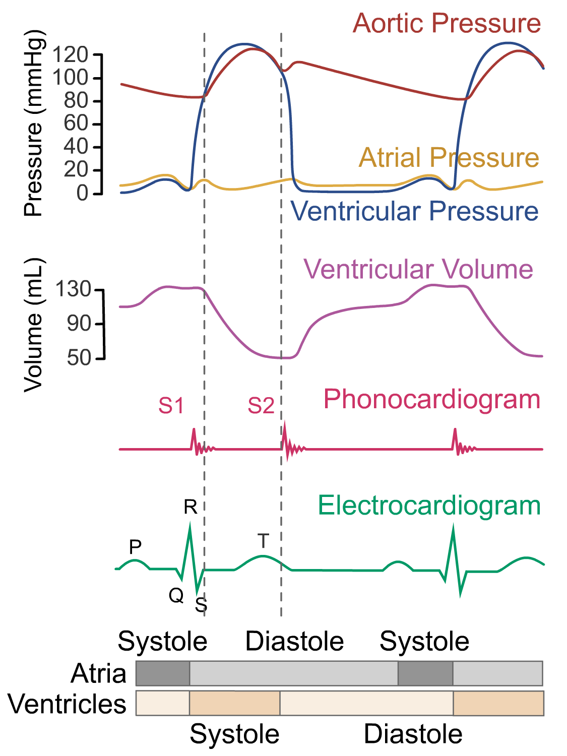 Wigger's diagram - ventricular ejection phase