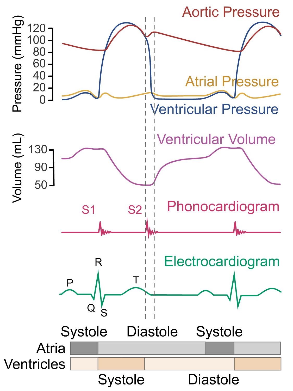 Wigger's diagram - ventricular iIsovolumetric (isovolumic) relaxation phase