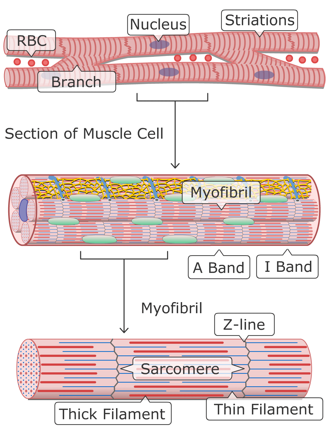 General structure of cardiac muscle cells (Illustration)