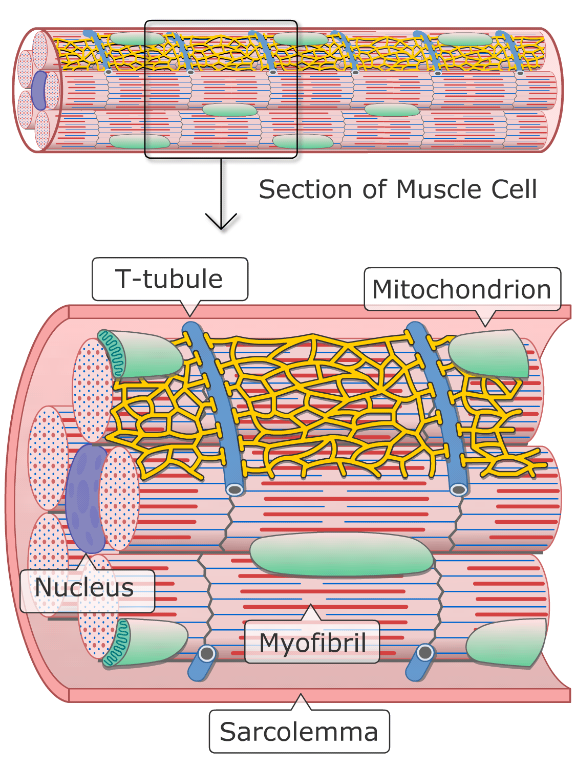 Ultrastructure structure of cardiac muscle cells (Illustration)