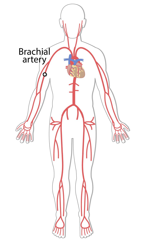 Biceps brachii blood supply