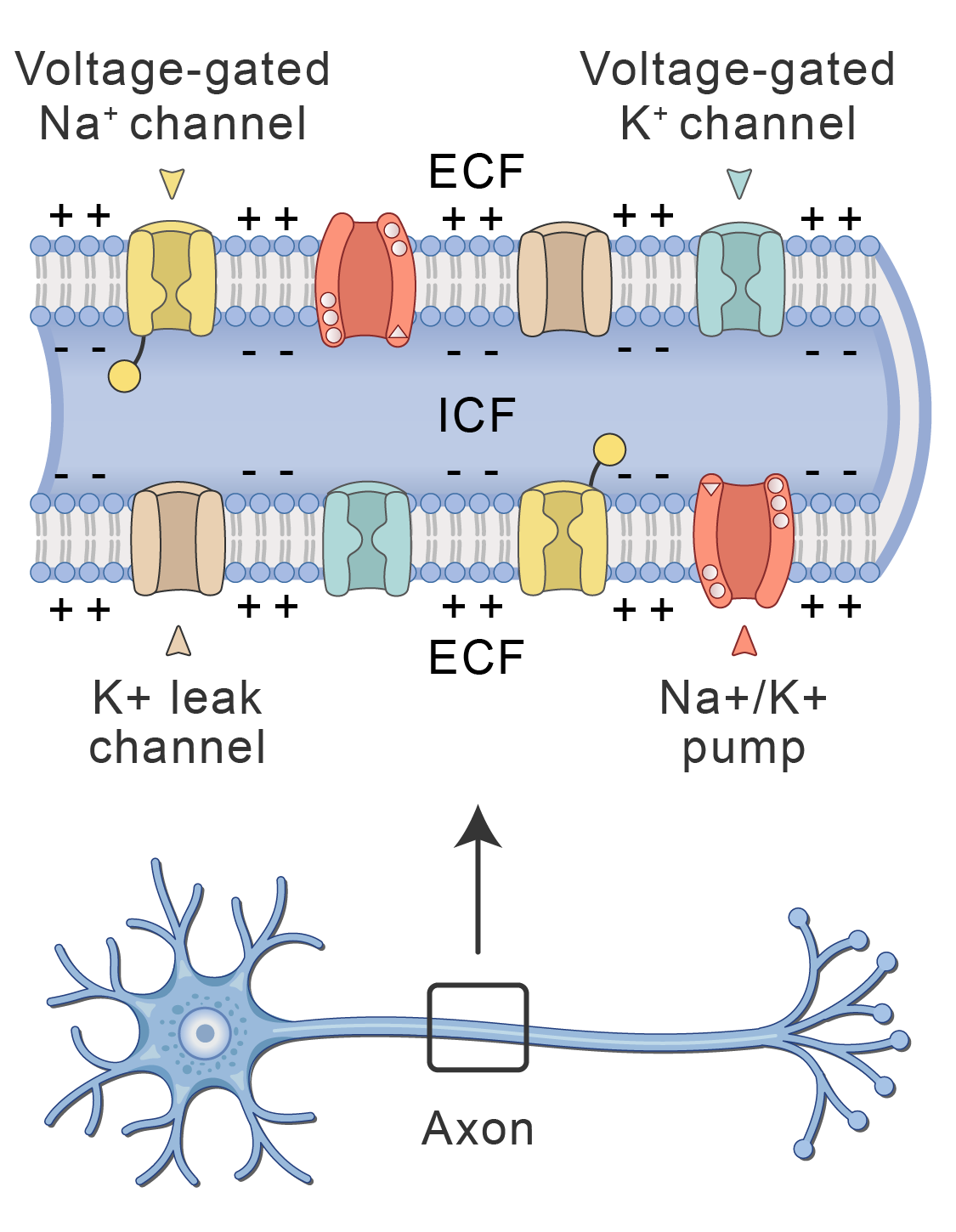 Axon membrane showing embedded protein channels and pumps