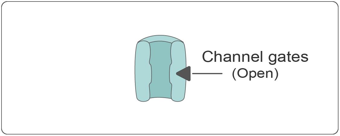 Voltage-gated  potassium (K+)  channel - open state