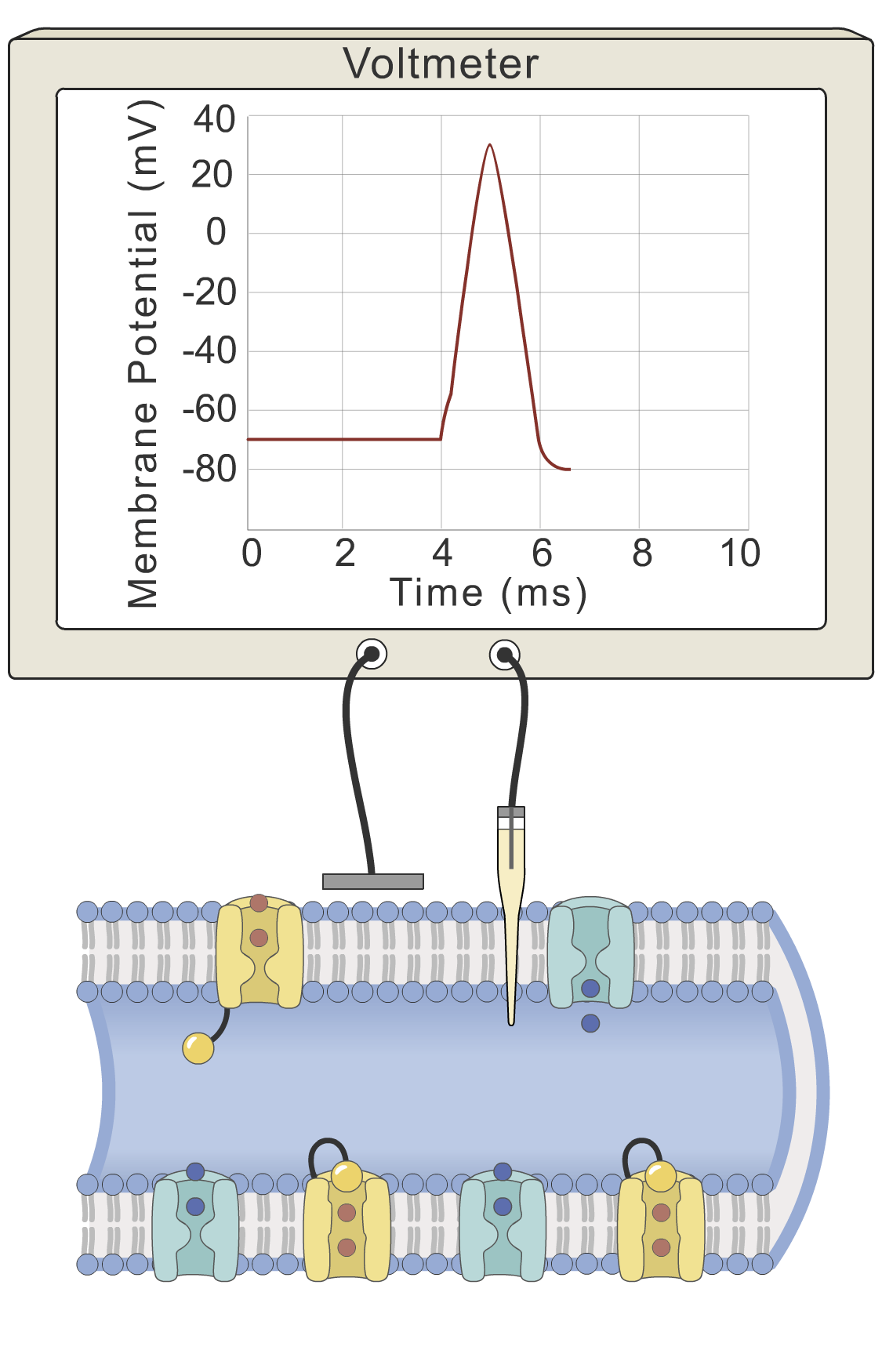 Action potential: hyperpolarization phase
