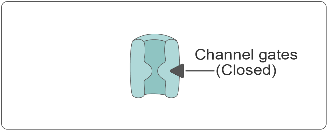 Voltage-gated  potassium (K+)  channel - closed state