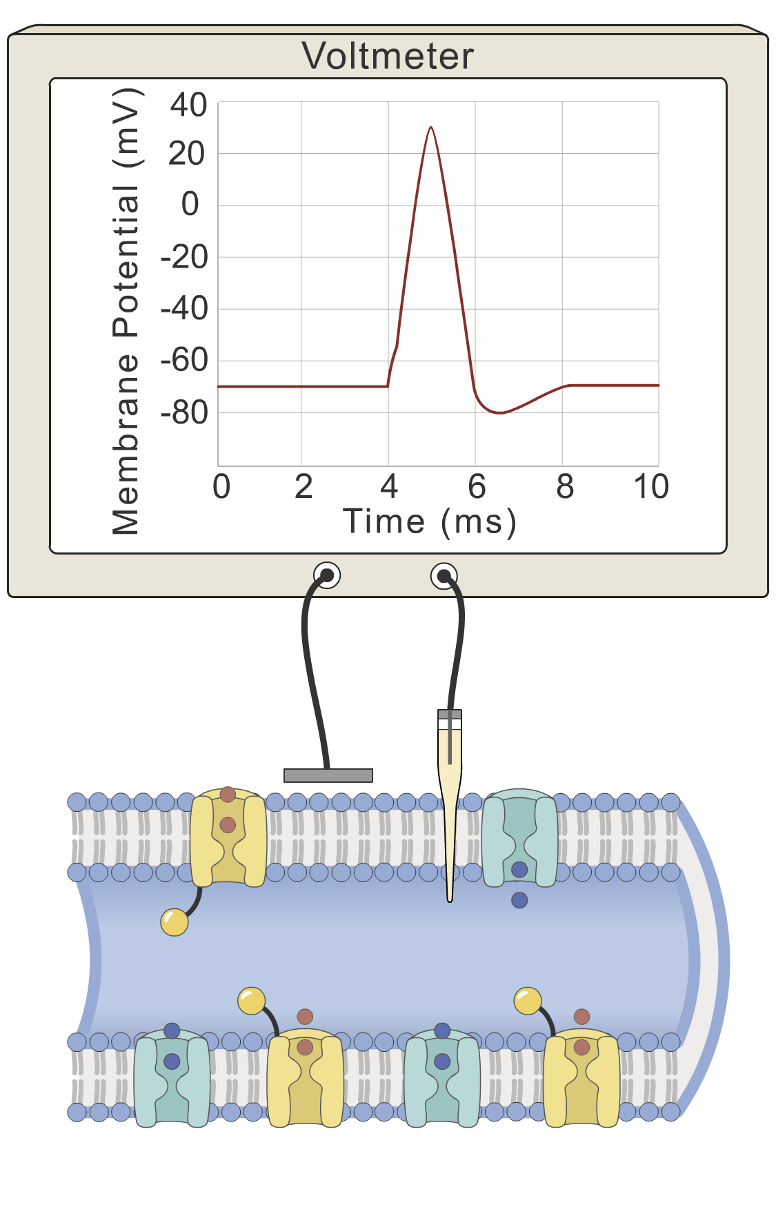 Action potential: return to resting potential