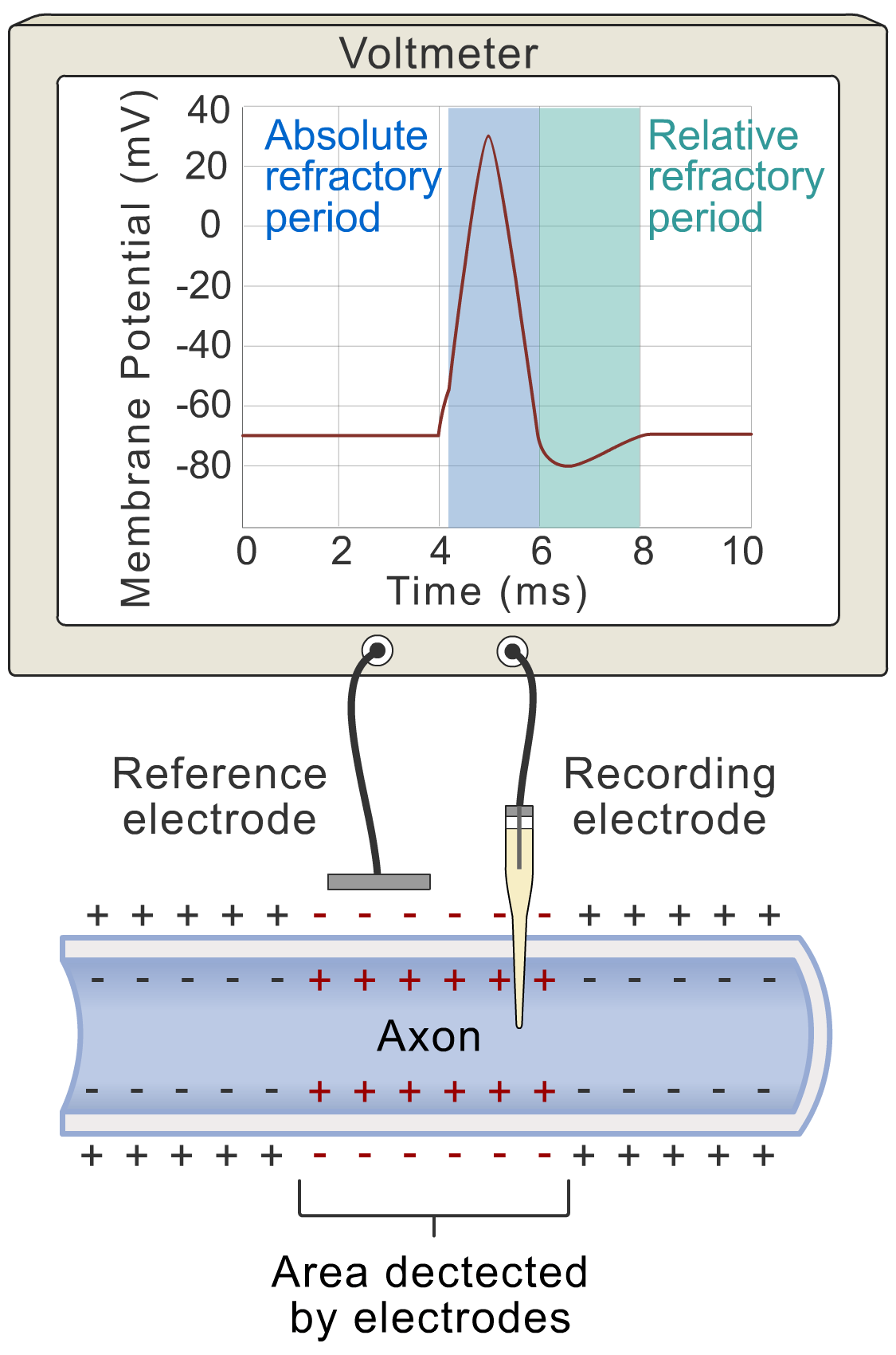 Action potential - refractory periods