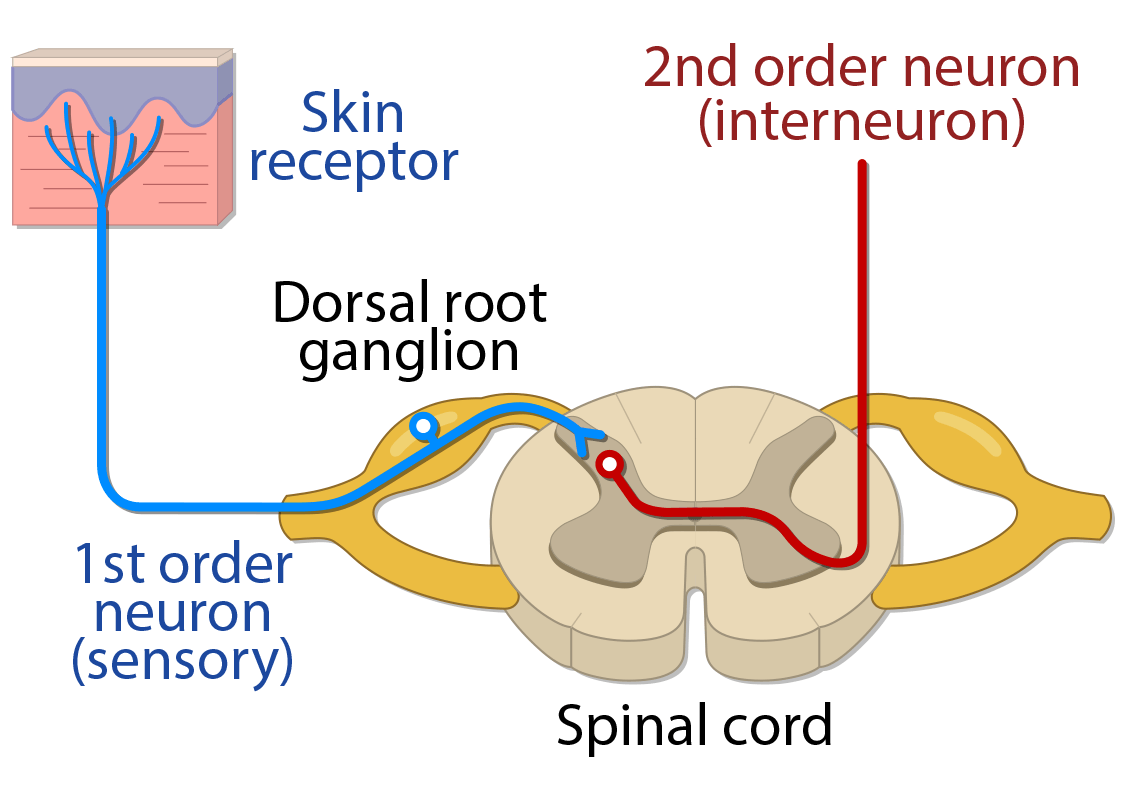 First and second order neurons