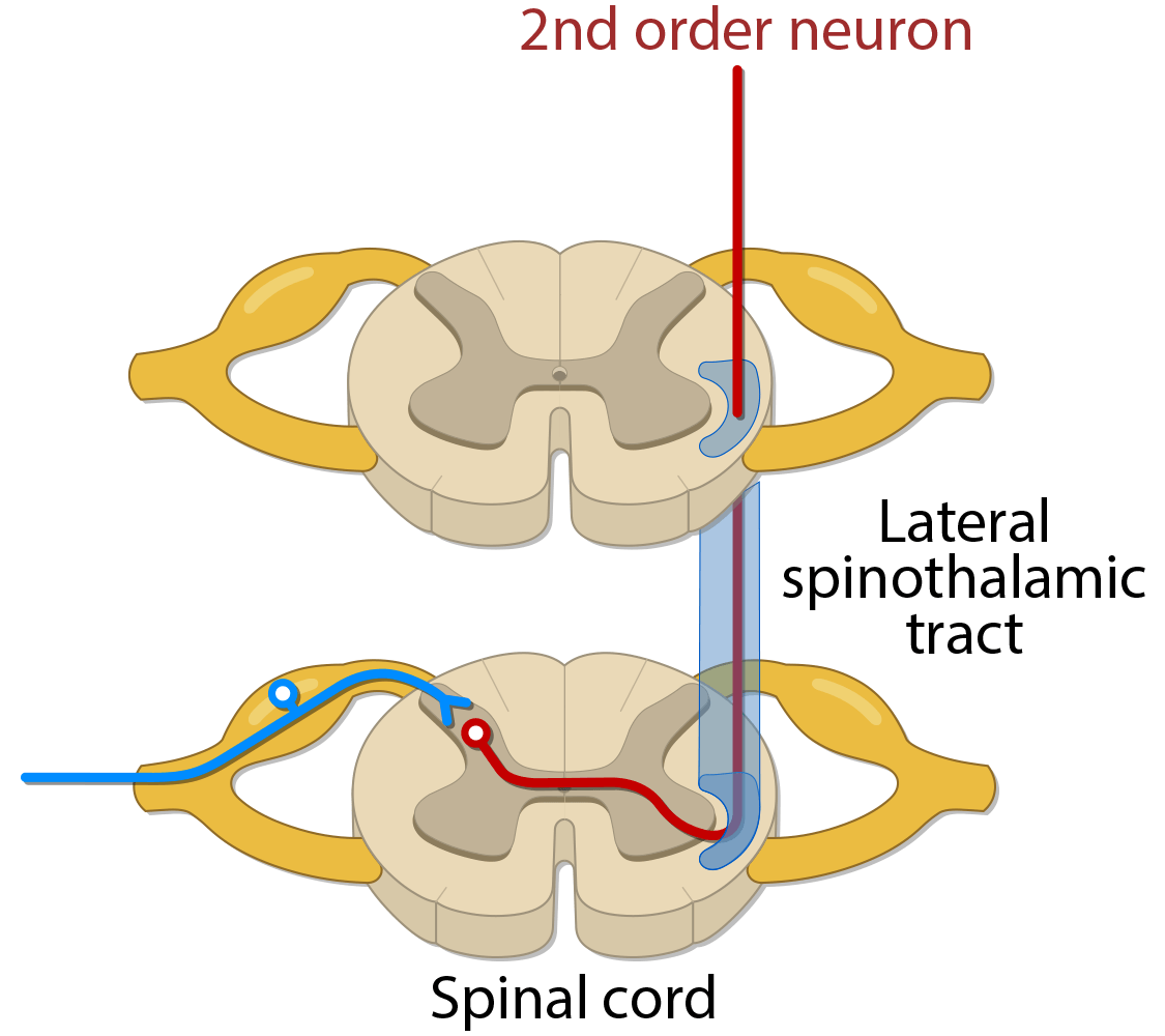 Spinothalamic tract - verson 1