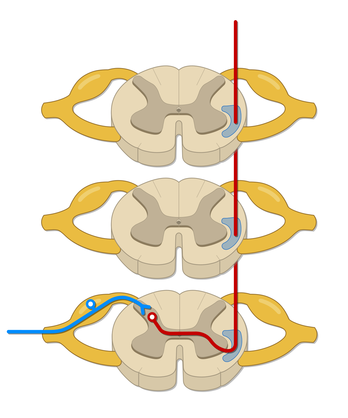 Spinothalamic tract - verson 2