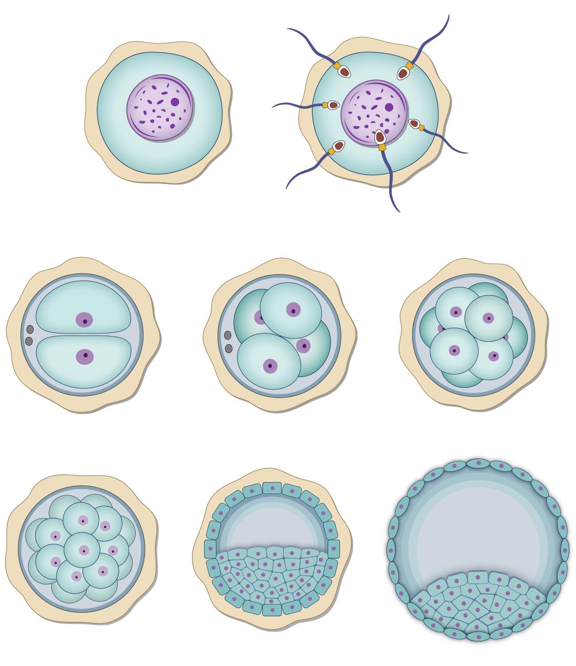 Embryonic development: pre-implantation days 1-6