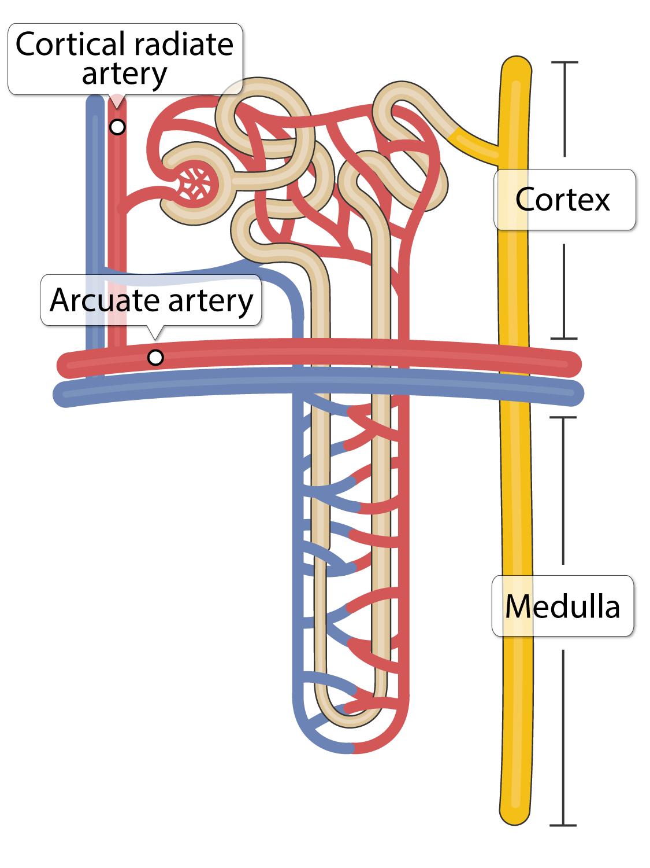 Arcuate and cortical radiate arteries