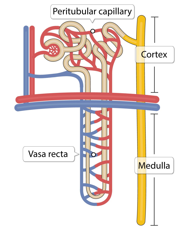 Afferent arteriole, glomerulus, efferent arteriole