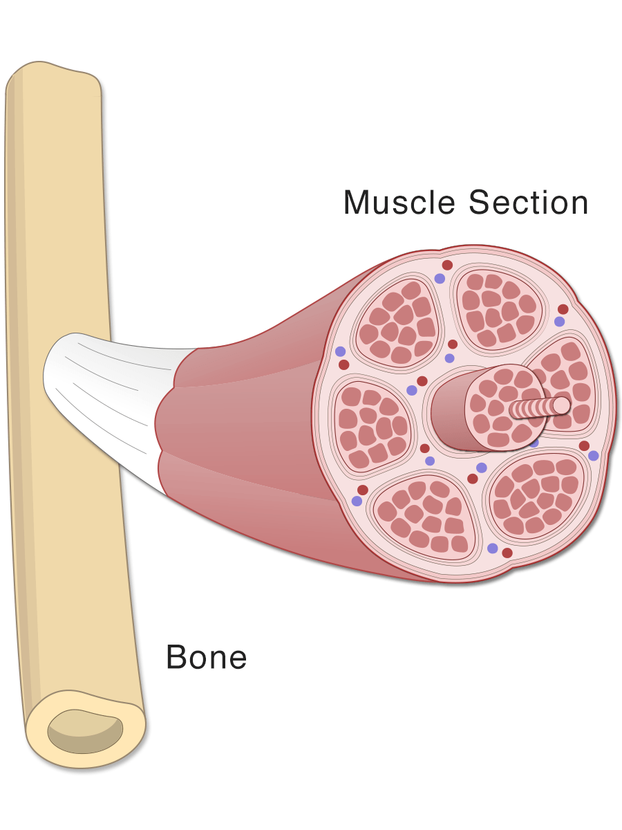 Cross section of a skeletal muscle (illustration; diagram)